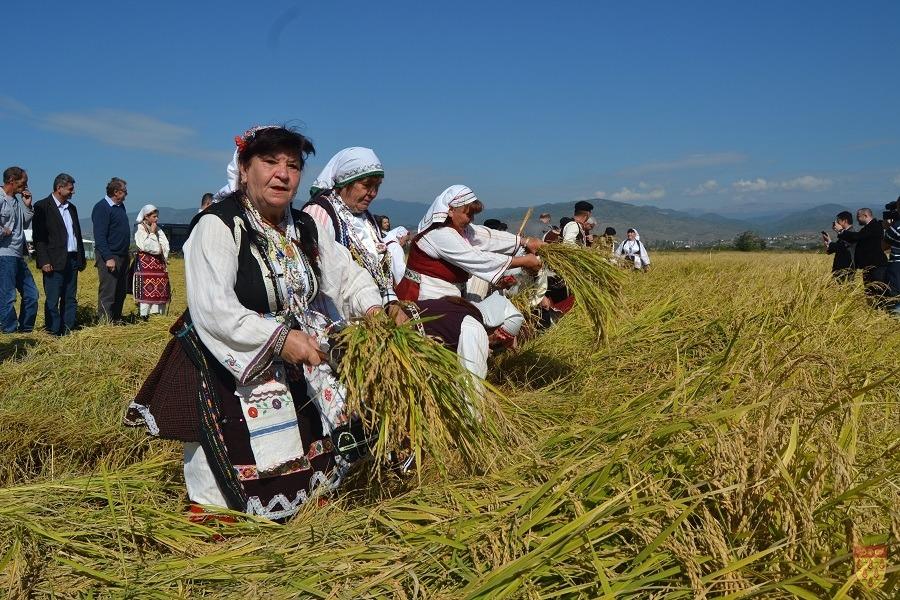 Со традиционалното жнеење со срп – започна оризовата жетва во Кочанско