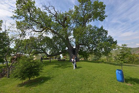 Белскиот седумвековен даб им пркоси на громовите