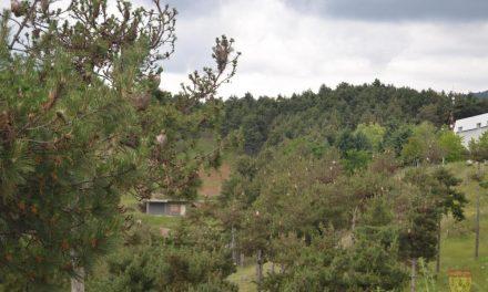 Советот на Општина Кочани бара итен третман на боровиот четник во кочанските шуми