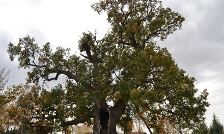 Дабот благун во селото Бели – прогласен за природна реткост