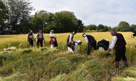 """""""Денови на кочанскиот ориз 2020"""" со прикази на традиционална жетва и вршење на гумно"""