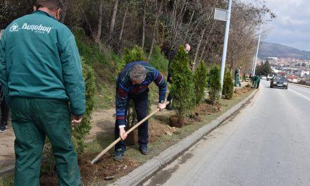 Засадени нови садници туја на влезот во Кочани
